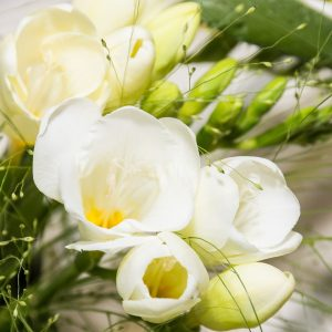 Freesias Blancs